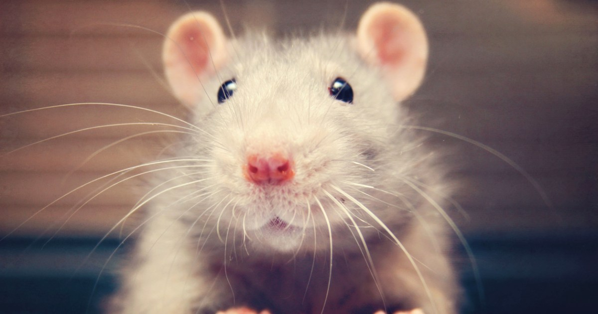 15 Reasons Why Rats Should Be Your Next Pet Metro News