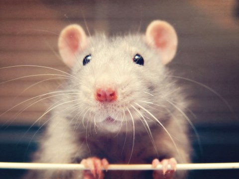 15 reasons why rats should be your next pet