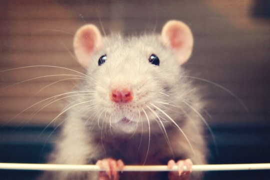 Image result for why we love rat