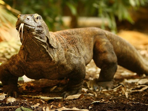 Today's Google Doodle is a reptilian quiz – how much do you know about Komodo dragons?
