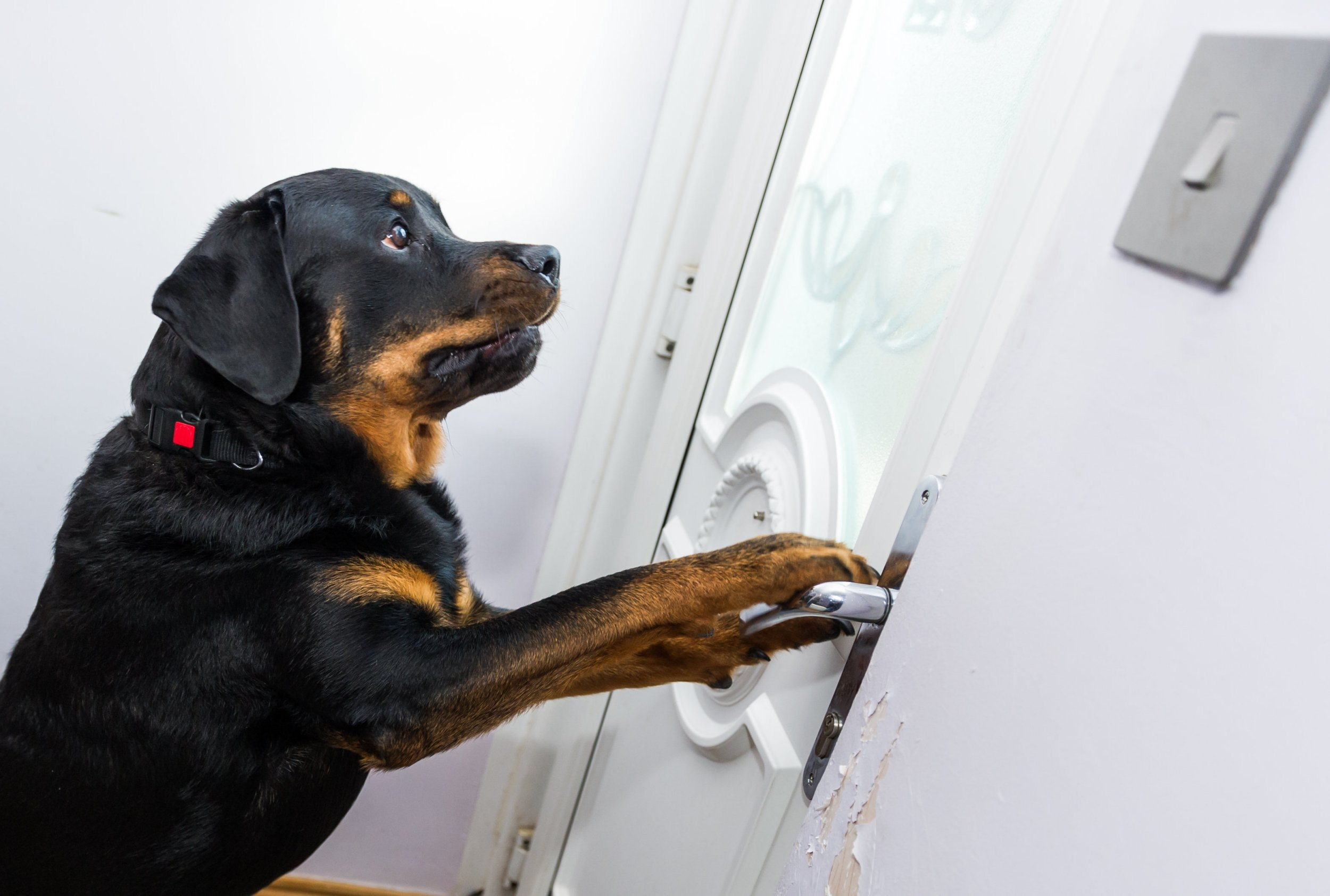 Rottweiler Megan age 3 who saved the life of her owner Gary Gregory age 32 from Lowestoft, Suffolk by opening the house door to let in the paramedics when Gary was collapsed on the floor. See Masons copy MNDOOR: A man's life was saved by his ROTTWEILER who opened the door to paramedics as he lay lifeless on the floor. Gary Gregory, 32, managed to call 999 moments before passing out because of internal bleeding.Despite help arriving within minutes, ambulance staff feared the worst as they were unable to open the front door and get to him.