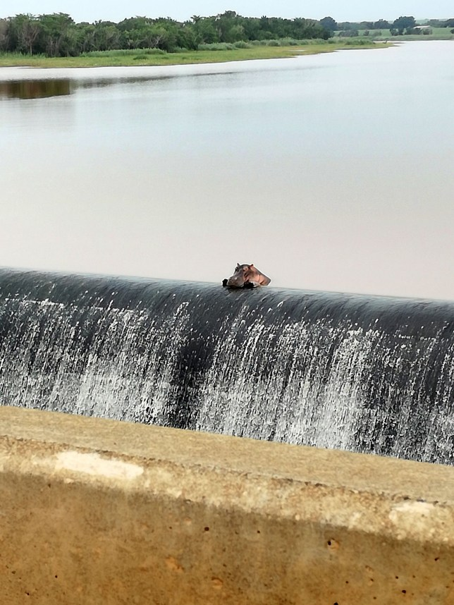 Pic by Louw Pretorius/Caters News - (Pictured: A hippo is content to relax at his favourite spot in the Komati River, South Africa.) - Amusing images appear to show a chilled out hippo relaxing at his very own infinity pool. But in the fact, the hippo was spotted at the high water bridge on the N4 crossing the Komati river in South Africa, leaning against an overflow wall.Louw Pretorius, 47, captured the shots whilst out with his family and admits that it wasnt the first time he had seen the animal. SEE CATERS COPY.