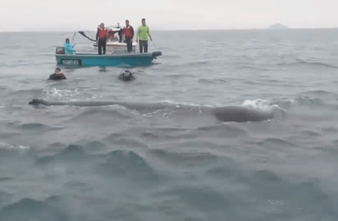 Heroic divers save whale and it stops to 'thank' them