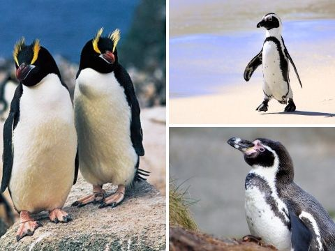 World Penguin Day 2017: 11 penguin species facing extinction