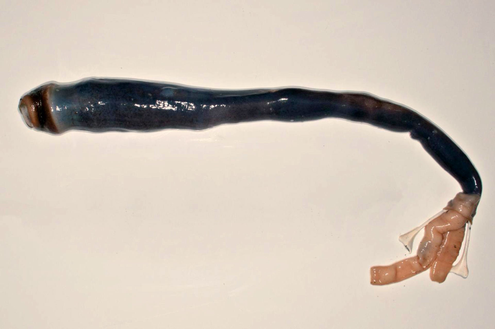 Giant five foot worm found for first time by scientists