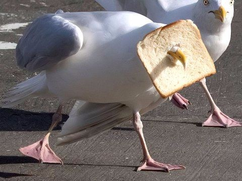 Greedy seagull impales bread on its beak during epic fight for food