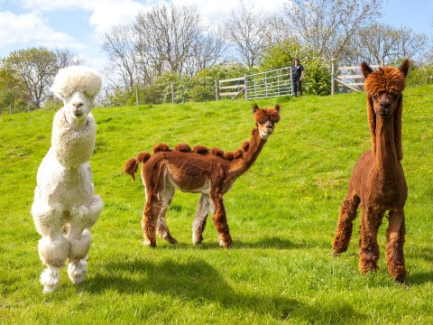 We're trying not to laugh at these Alpaca with 'funky' hair cuts