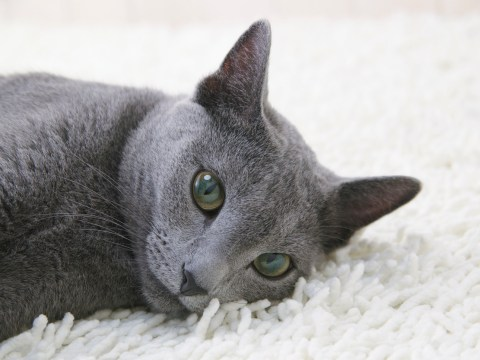 11 reasons why Russian Blue cats are the best