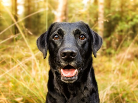 12 things every Labrador owner knows