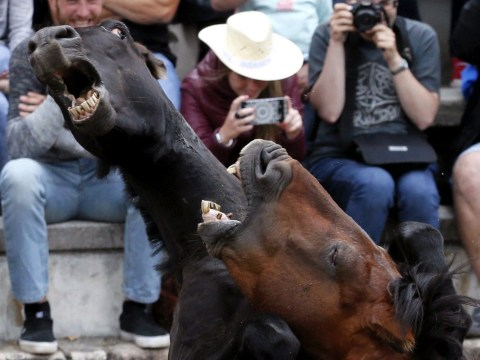 Disturbing festival where men try to cut wild horses' manes off