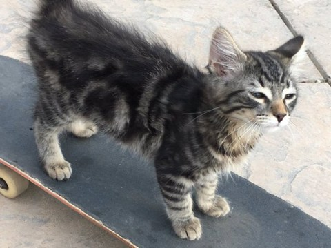 This sick skateboarding kitten is Twitter's latest obsession