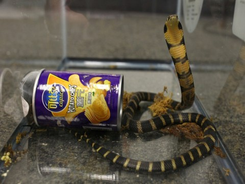 Man accused of smuggling deadly king cobras to US inside potato chip cans