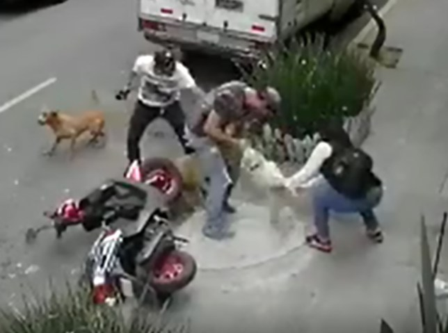 Mexico man fights angry pitbull to protect tiny dog Maltese