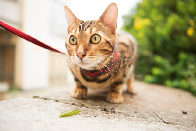 RSPCA isn't impressed with people walking cats on leads