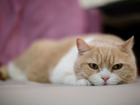Why do cats knead or pad things?