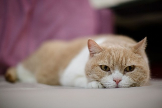 Cats are highly susceptible to Covid-19 and can spread it to other felines (Anthony Wallace/AFP/Getty Images)