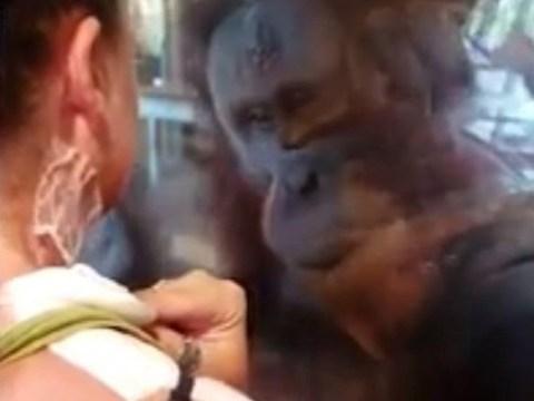 Orangutan shows concern for burns victim after noticing her scars