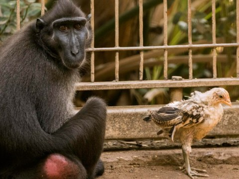Lonely monkey adopts a chicken and now they're the best of friends