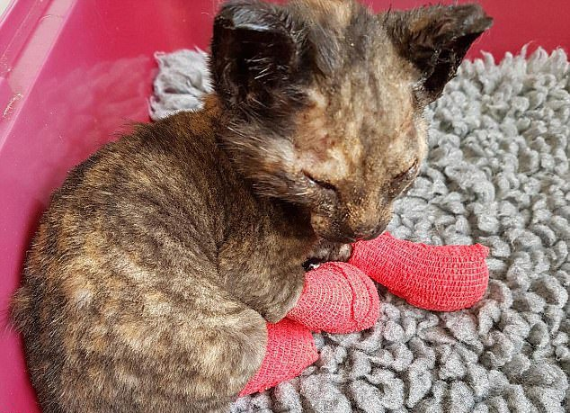 Phoenix the kitten rises from ashes after she was severely burned