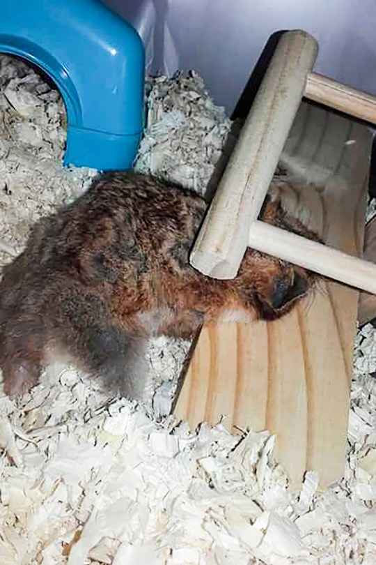 Hamster dies after being crushed by its own seesaw in