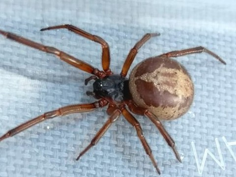 Couple find really creepy false widow spider in their home