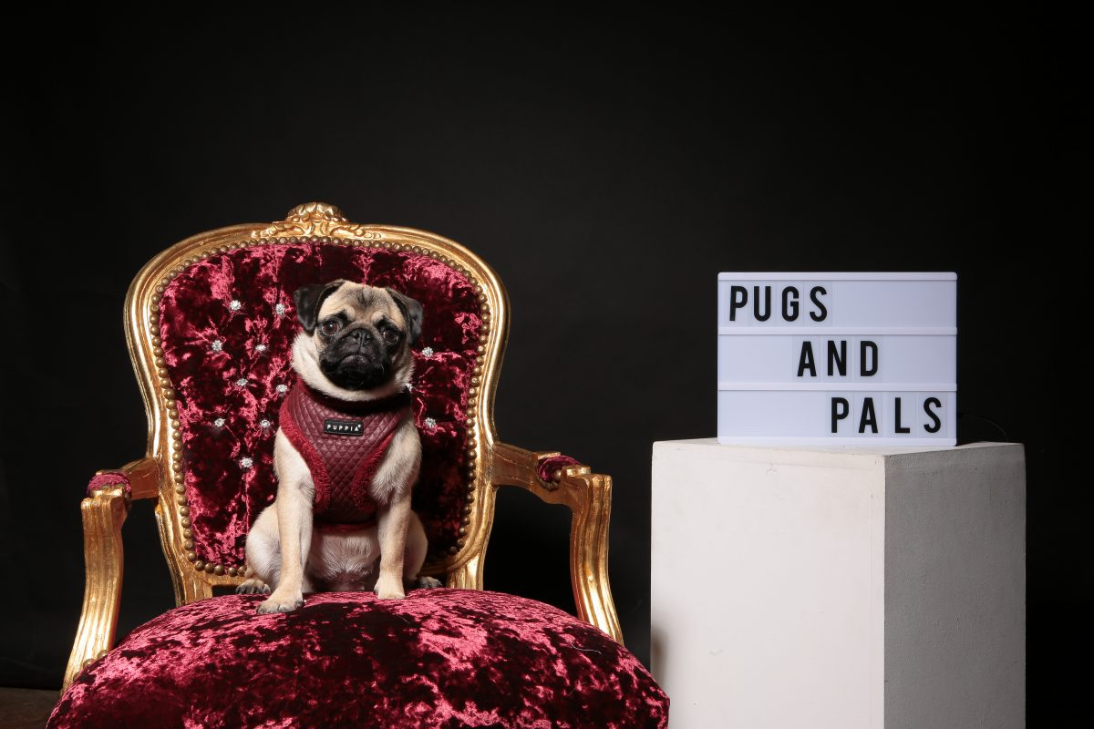 Pugs and Pals pop-up cafe