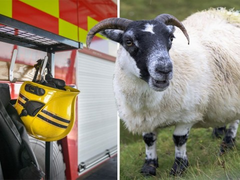 Firefighters sent on 350 mile round trip to save stranded sheep