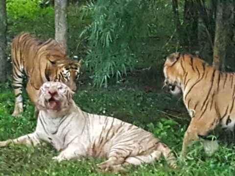 Rare white tiger mauled to death after 'getting into zoo's Bengal tiger enclosure'