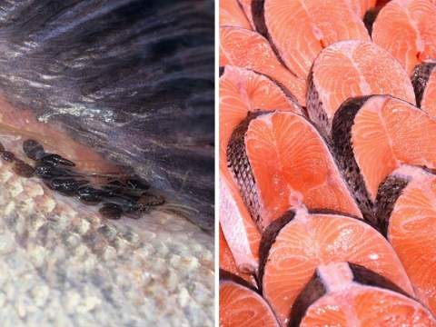 Salmon for Tesco and Sainsbury's found crawling with lice