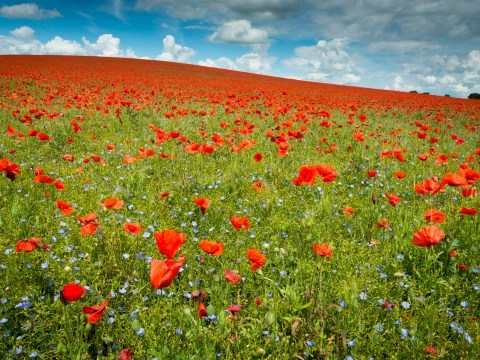 When to start wearing a poppy for Remembrance Day