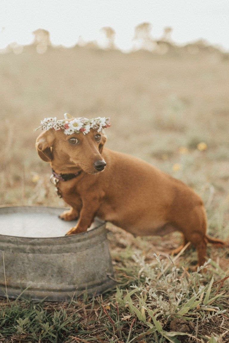 icymi a sausage dog has just staged her own maternity