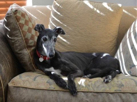 Distraught greyhound stood by her owner's body for a month after they died