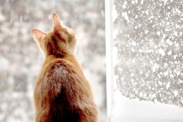 red male cat watching the snow