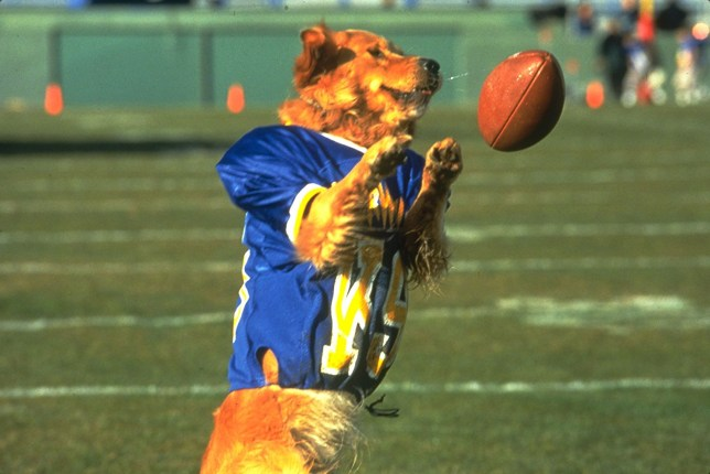 Still from Air Bud with a dog playing American football