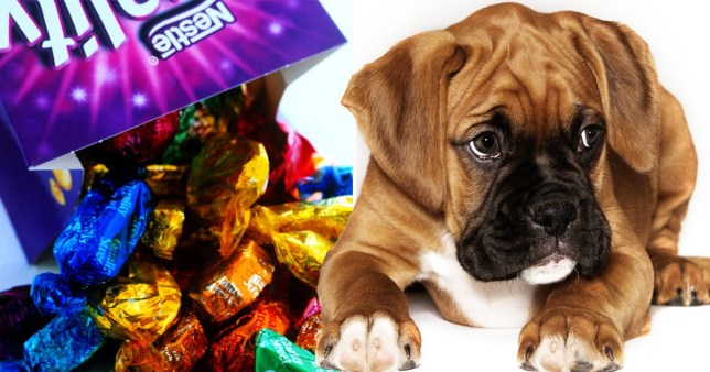 This is what chocolate does to your dog's body - vets' warning