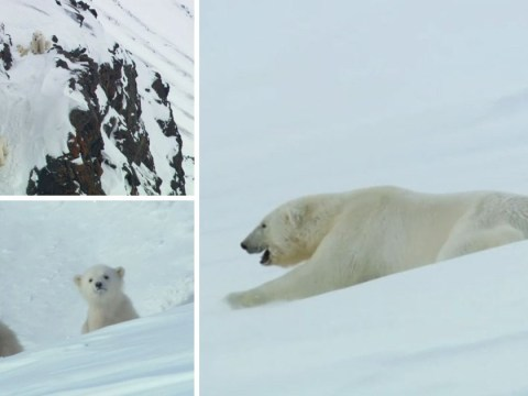 Quick-thinking mother polar bear devises ingenious plan to keep her cubs safe with hilarious results