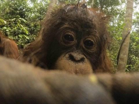 Orangutan takes hundreds of selfies on photographer's camera