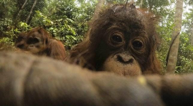 Orangutan selfies