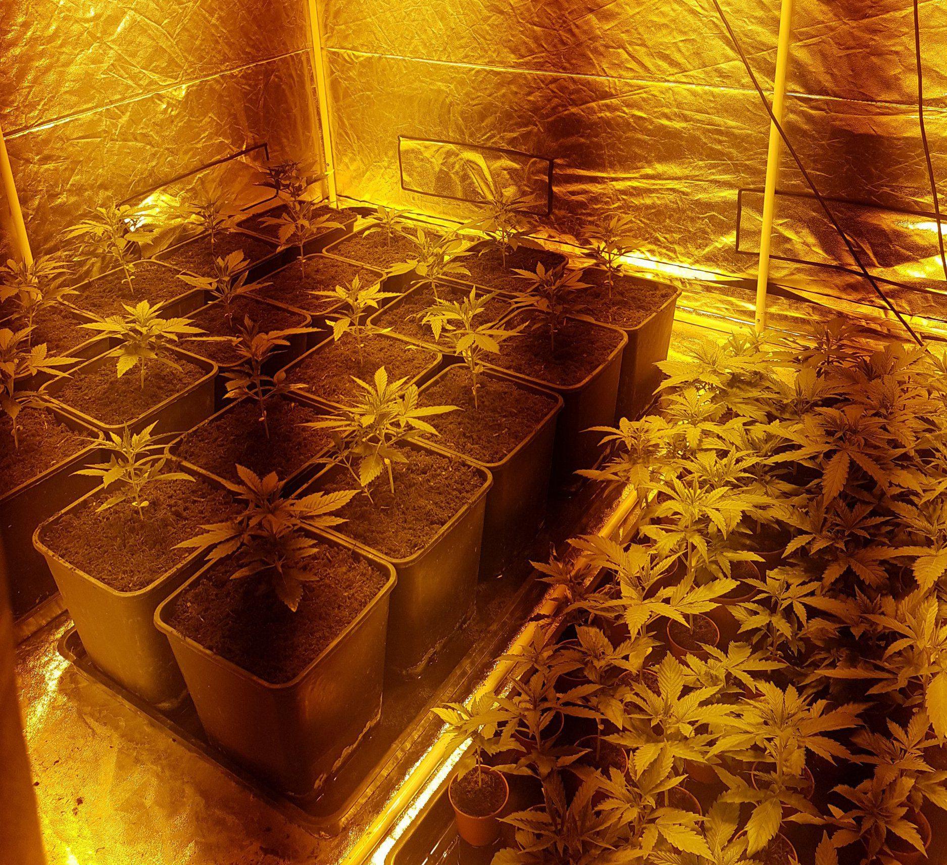 secret cannabis farm found when workers went to check fuse box Fuse Box School