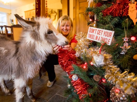 A baby donkey rejected by his mother will now spend his first Christmas in a family's home