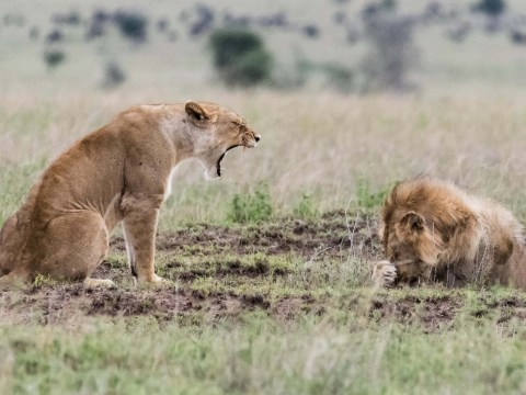 Lioness doesn't seem too happy with her mate right now