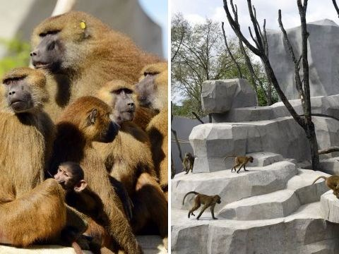 Paris zoo evacuated after more than 50 baboons escape