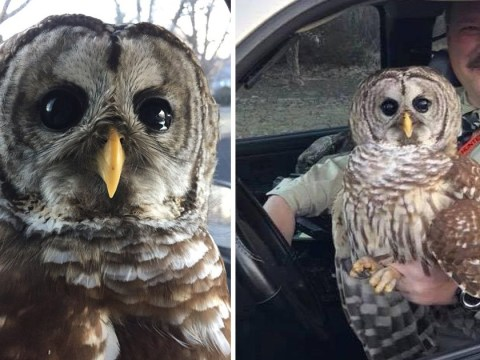 Is this America's cutest owl? Adorable bird saved by kind cop after being hit by a car