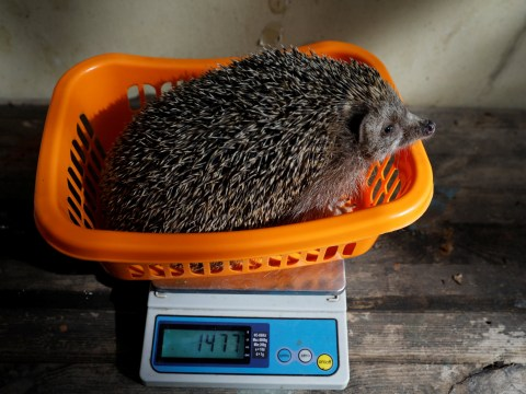 Wildlife hospital puts fat hedgehogs on diets with personalised exercise plans