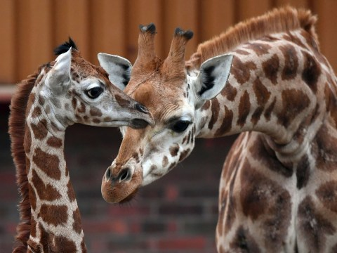 This zoo is hiring someone to look after giraffes for a living