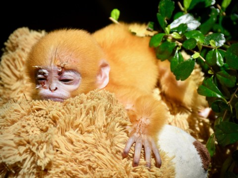 Adorable orphaned monkey who lost his mum to wild dogs now has a teddy bear mother