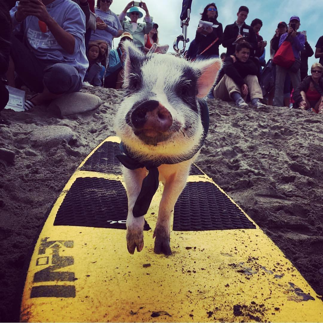Meet the pot-bellied pig who knows how to surf