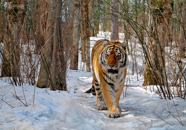 Tiger sought out human help after suffering a severe teeth and gum problem