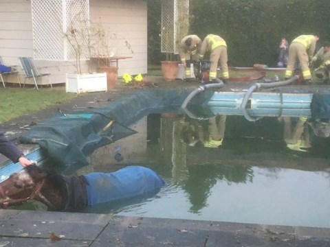 A horse got trapped in a swimming pool and nobody knows how