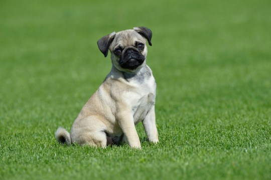 Pugs suffer from 'potentially deadly gait abnormality' | Metro News